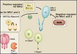 SnapShot from Cell Press: Mitochondrial Dynamics