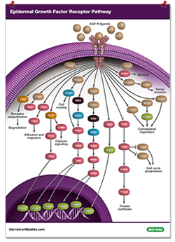 Epidermal Growth Factor Receptor Pathway Poster