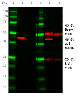 Fig. 2. Comparison of HRP conjugated TidyBlot Western Blot Detection Reagent (lanes 2 & 3) to a standard anti-mouse IgG (H/L) secondary antibody (lanes 5 & 6).